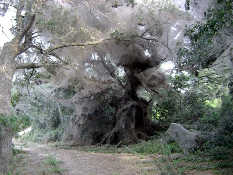 Mnohým bude tato podívaná připomínat záběry z různých filmů: někomu z vědeckofantastických, někomu z hororů. A toto je také zajímavé – stihnou to filmaři do konce podzimu do parku? - do doby, než pavouci začnou umírat a jejich sítě se začnou rozpadat.