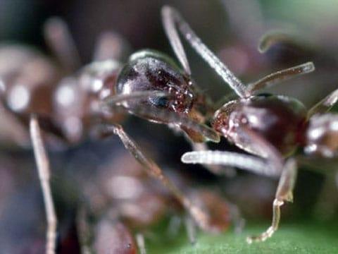Mravenec argentinský (Linepithema humile) je druh mravence pocházejícího původně z Argentiny, dnes invazně rozšířeného po celém světě.