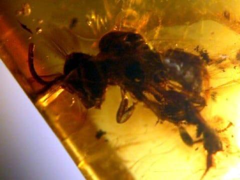 Na tomto mikroskopickém snímku je pollinarium, přichycené na zádech včely - droboulinká část kvítku orchideje, která se skládá ze spojených zrnek pylu lepících se na opylující hmyz. Teto kousek jantaru je starý 15-20 miliónů let.