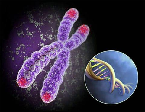Na tomto obrázku jsou na chromozonu teloméry označeny červenou barvou. Baird tvrdí, že pokud nejsou v pořádku, pak buňka sama