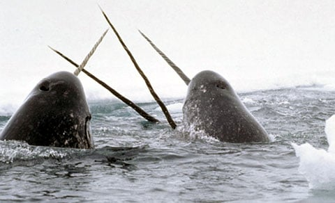 Narval (Narwhal)