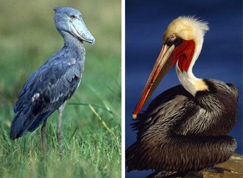Nejbližšími příbuznými pelikánů jsou člunozobcovití.