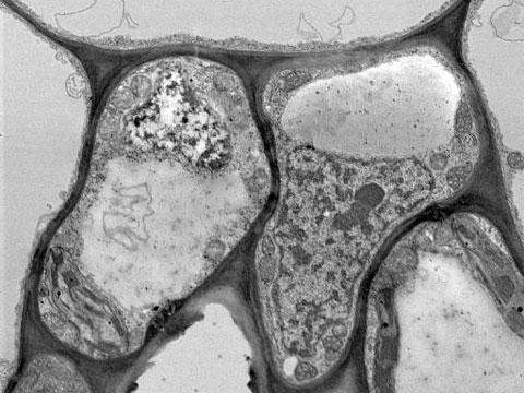 Nicotiana tabacum - řez listem (Buňky)