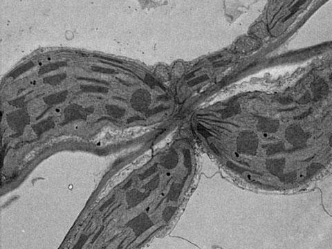 Nicotiana tabacum - řez listem (Chloroplasty a Mitochondrie)