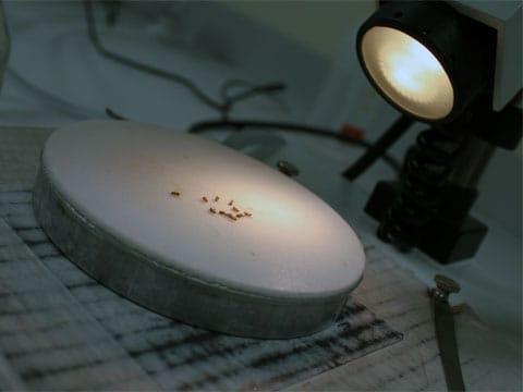 Octomilka obecná (Drosophila melanogaster), čeleď octomilkovití, řád dvoukřídlí (Diptera). Druhové jméno pochází z řečtiny a znamená