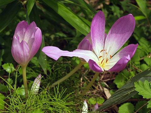 Ocún jesenní (Colchicum autumnale L., 1753), lidově naháček, je vytrvalá prudce jedovatá bylina z čeledi ocúnovité
