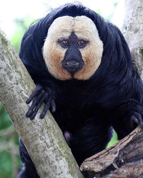 Opice Saki s bílou tváří (White-faced Saki Monkey)