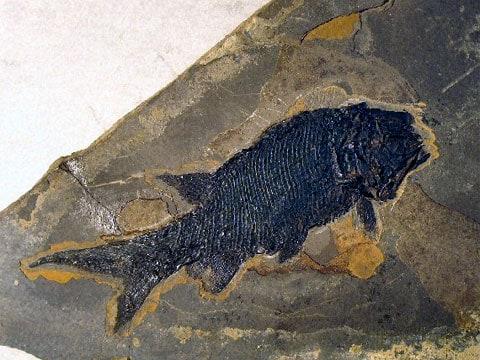 Paramblypterus gelberti - fosilie z minulosti