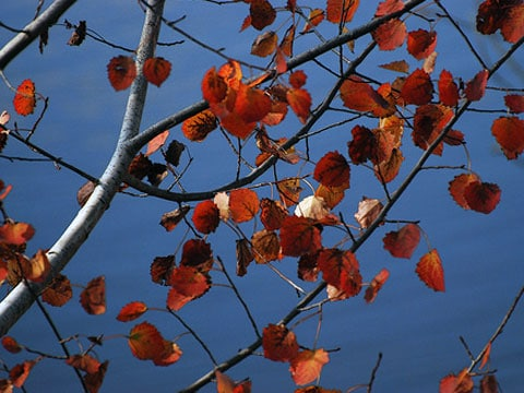 Pozorování zabarvení podzimního listí a půdy, na které vyrůstaly styraxy a javory červené, ukázalo, že některým z těchto stromů se nedostává potřebných živin.