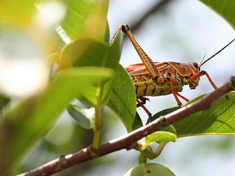 Přirozený výskyt sarančat v přírodě nikoho neohrožuje a tento hmyz z řádu rovnokřídlých tvoří neoddělitelnou součást mnohých ekosystémů