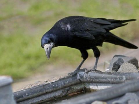 Vrány  používají nástroje i logiku