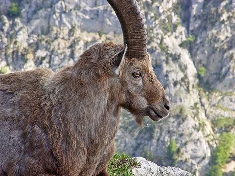 Pyrenejský kozorožec