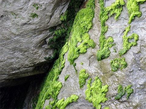 Řasy (Algae) jsou jednoduché fotosyntetizující organismy, tradičně řazené mezi nižší rostliny. Ve skutečnosti jsou řasy seskupením nepříbuzných skupin organismů a jen některé z nich jsou blízké rostlinám.