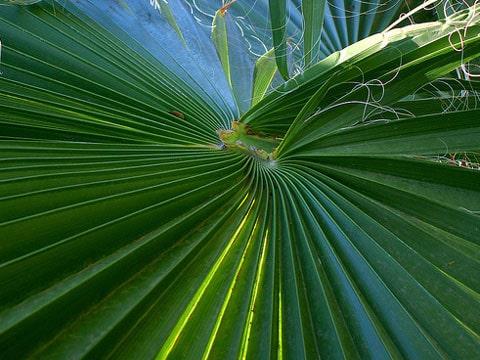 Rostlina byla pojmenována na počest Anny-Tahiny Metz - dcery objevitele, Tahina spectabilis (tahina v malajštině znamená
