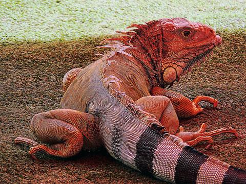 Růžový leguán z Galapág je samostatným živočišným druhem