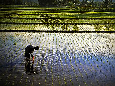 Rýže živí polovinu obyvatel planety