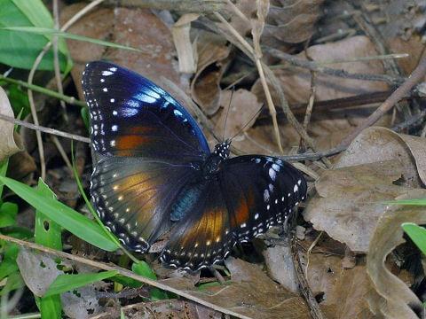Samec motýla Hypolimnas bolina