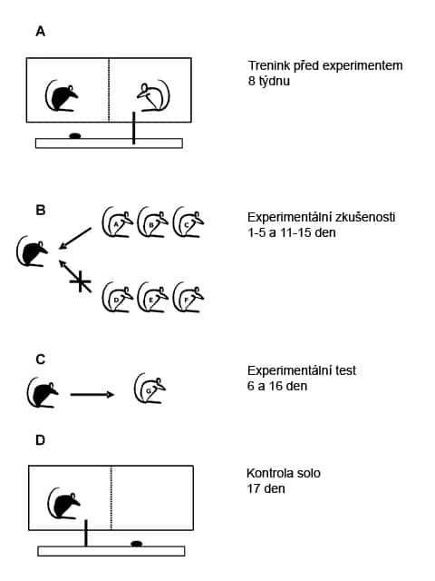 Schéma zkušeností krys je jednoduché: rozdělená klec, jídlo a tlačítko pro jeho výdej... sousedovi (kryse)
