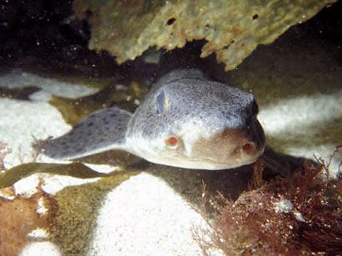 Scyliorhinus canicula - druh žraloka, zkoumany v daném bádání