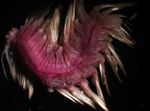 Seznamte se - růžový štětinatý červ (policheta), ještě jedno překvapení z Weddelova moře