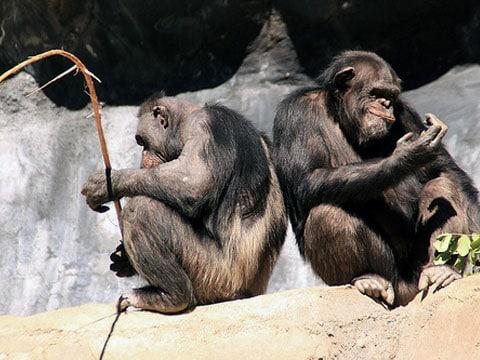 Šimpanz (Pan) je rod hominidních primátů blízce příbuzných člověku