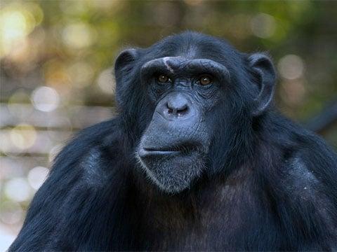 Šimpanz (Pan) je rod hominidních primátů blízce příbuzných člověku. Patří k němu dva žijící zástupci: šimpanz učenlivý a šimpanz bonobo. Oba druhy žijí v Africe. Šimpanze učenlivého pokrývá černá nebo šedá srst, s výjimkou uší, tváří, dlaní a chodidel. Tváře jsou obvykle růžové, s věkem tmavnou až zčernají. Bonobo je o něco menší, s lehčí tělesnou stavbou, menšími zuby a tmavšími tvářemi. Uši mu překrývají chomáče chlupů. Jsou to všežravci.