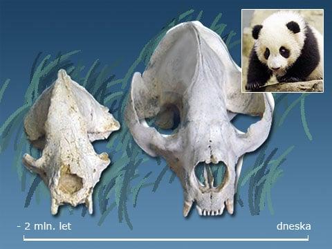 Srovnejte sami: vlevo je lebka pravěké «protopandy», která žila před asi dvěma milióny let, vpravo – současná panda