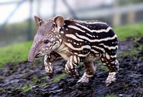 Tapír (Tapir)