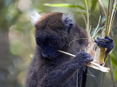 Tento druh lemurů - velcí bambusoví lemuři (Greater Bamboo Lemur) je jediný, který má čelisti tak silné, že mohou lámat stonky gigantického bambusu.