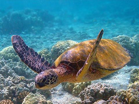 Biologové odtajnili úkryt  mořskych želv