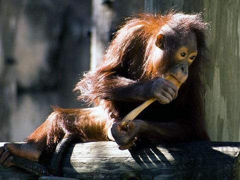 V současnosti je zoologické zahradě v Lipsku osm orangutanů (sedm samic a jeden samec), ale vědci neupřesňují, zda se pokoušeli během experimentu pracovat i s jinými samičími jedinci.
