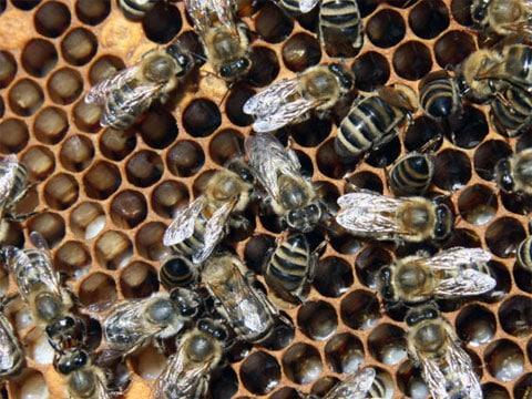 Včela medonosná (Apis mellifera L., 1758) patří mezi blanokřídlý hmyz a je to jeden z nejznámějších zástupců společenského hmyzu. Původně žila jen v Evropě, Asii a v Africe. Do Ameriky, Austrálie a Nového Zélandu byla přivezena až někdy v 17. století. Svá hnízda staví na chráněných místech přičemž jsou jednotlivé plástve (plásty) umístěny vedle sebe. Má nejvyšší hospodářské využití.