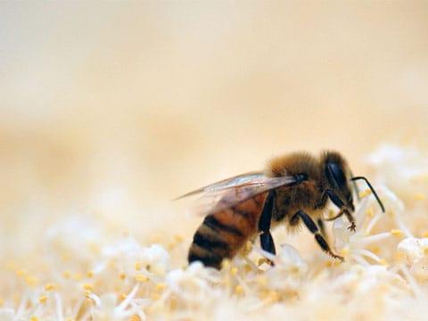 Včela medonosná patří mezi blanokřídlý hmyz a je to jeden z nejznámějších zástupců společenského hmyzu. Původně žila jen v Evropě, Asii a v Africe. Do Ameriky, Austrálie a Nového Zélandu byla přivezena až někdy v 17. století. Svá hnízda staví na chráněných místech přičemž jsou jednotlivé plástve (plásty) umístěny vedle sebe. Má nejvyšší hospodářské využití.