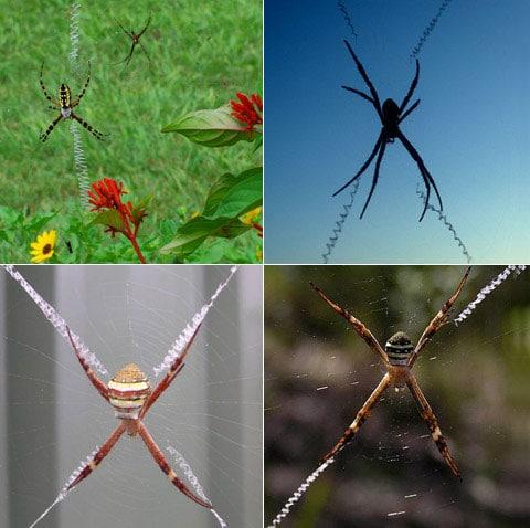 Vzory u pavouků tohoto druhu mohou být různé: křížky, linie, spirály, bulky, disky, kuličky. Přičemž