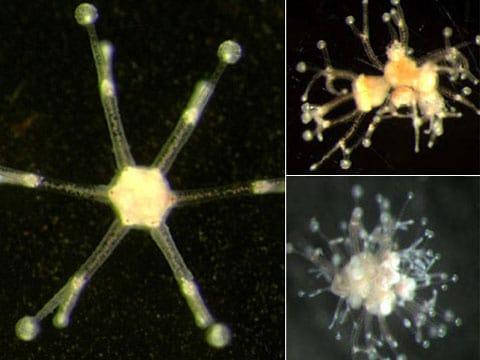 Genetici vytvořili 12 hlavou medúzu