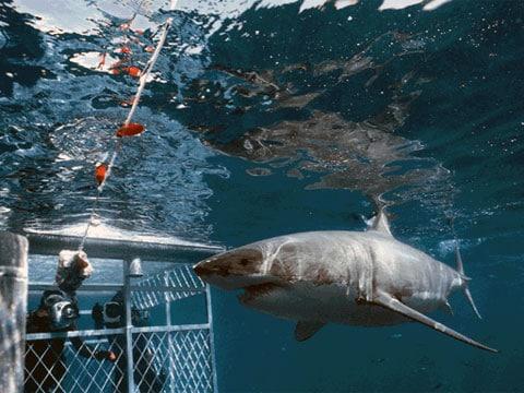 Žralok bílý (Carcharodon carcharias) je velký žralok čeledi Lamnidae vyskytující se v pobřežních vodách. Je považován za člověku nejnebezpečnějšího žraloka a jako takový byl dlouhodobě systematicky huben námořníky a rybáři.